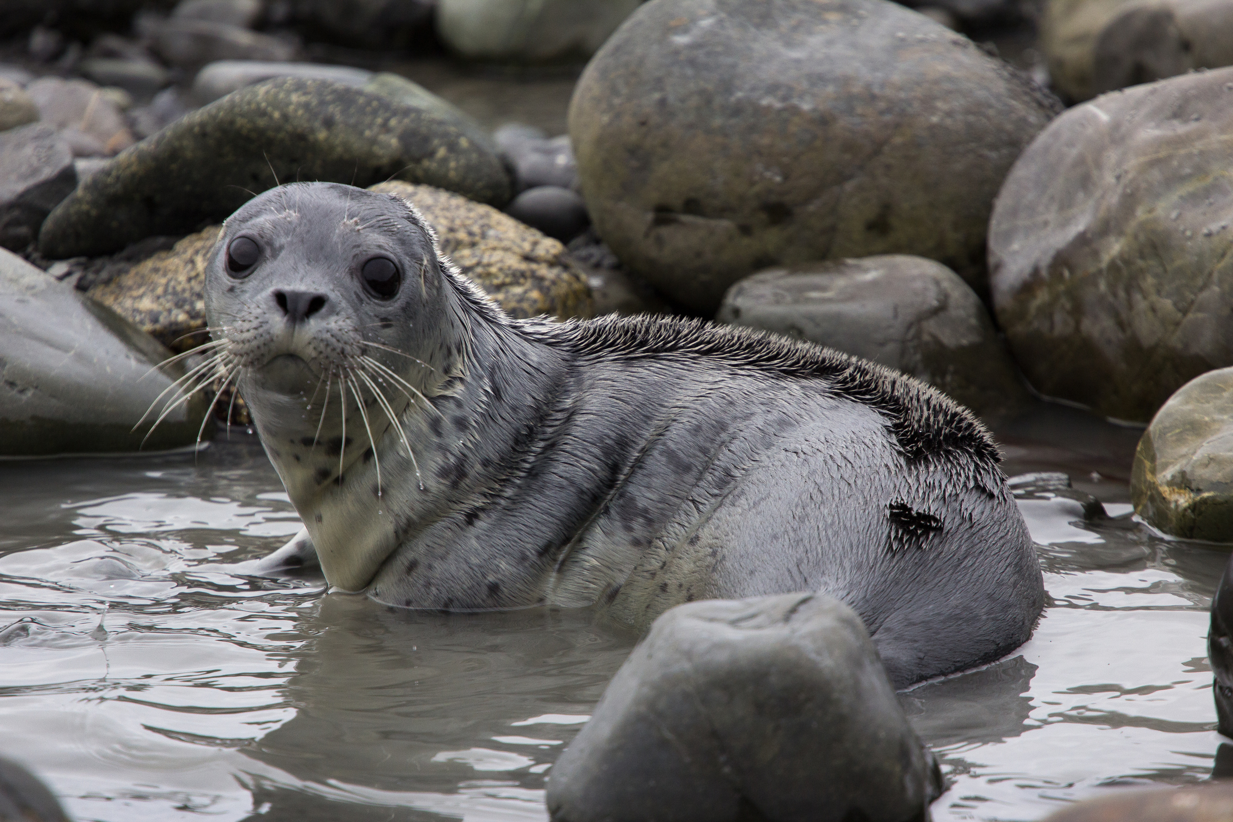 Harbor Seal, Middleton Island