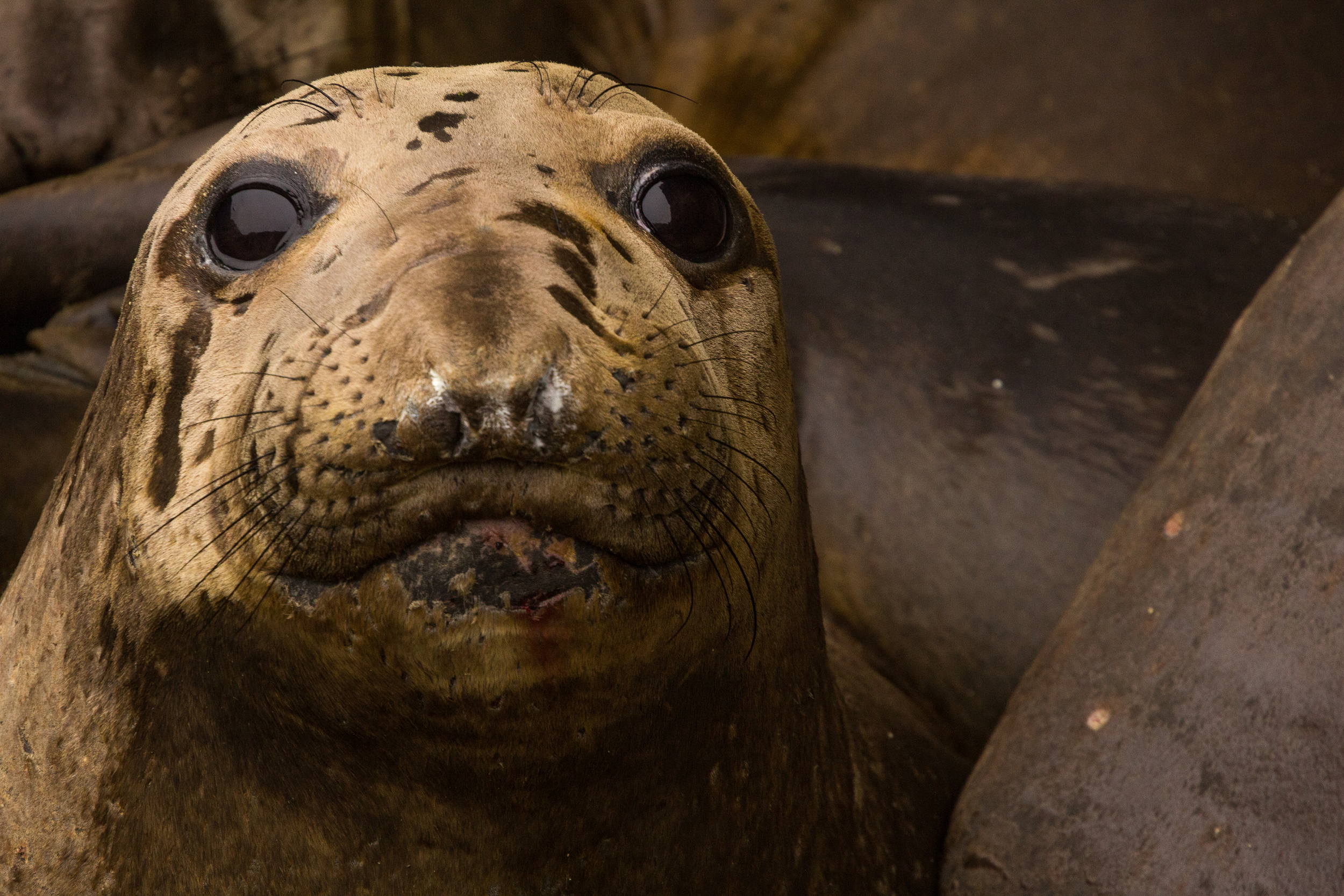Elephant Seal, Farallon Islands