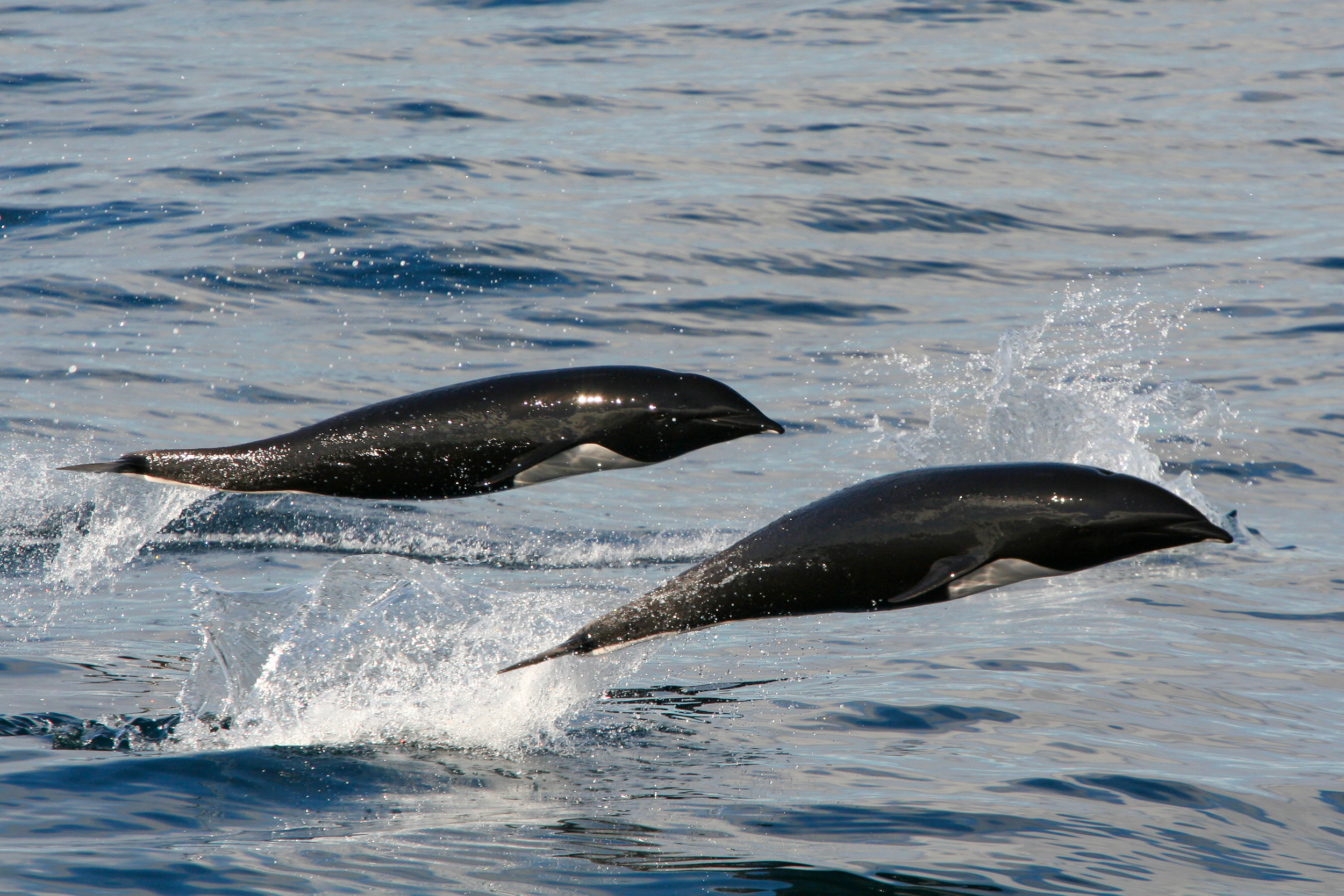 Northern-right Whale Dolphins, Monterey Bay