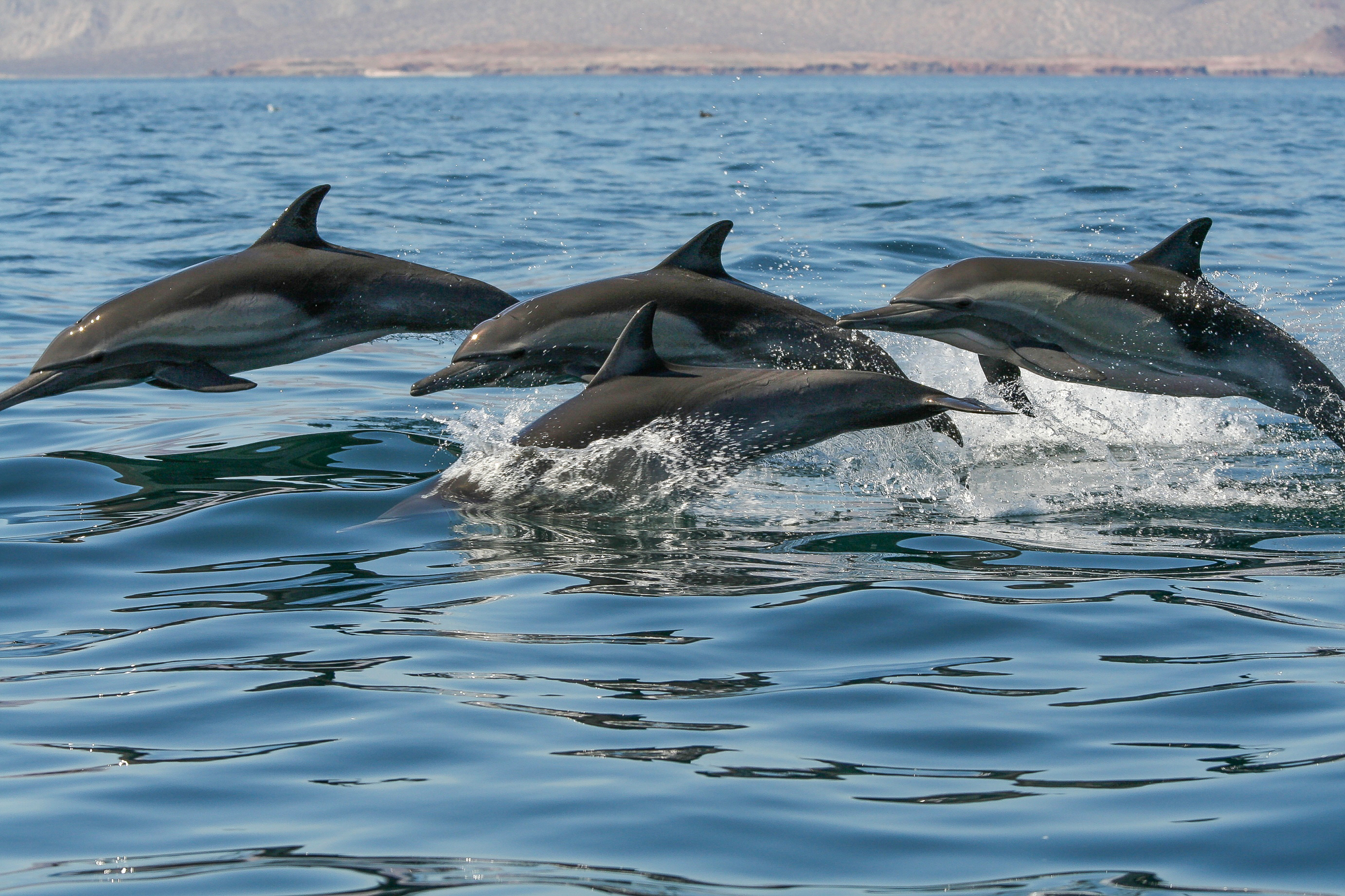 Long-beaked Common Dolphins, Gulf of California Mexico