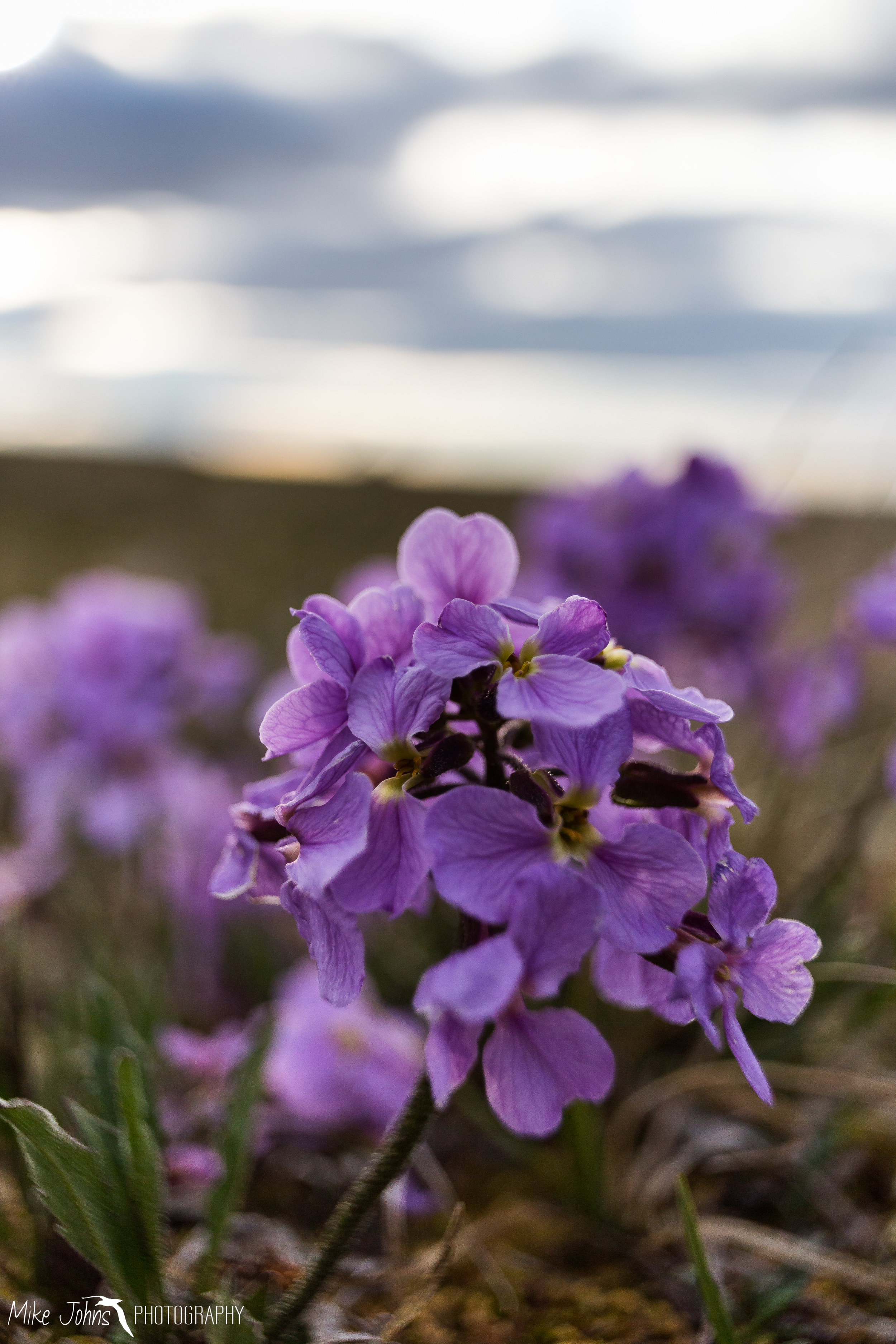 The tundra wildflowers were in full bloom.