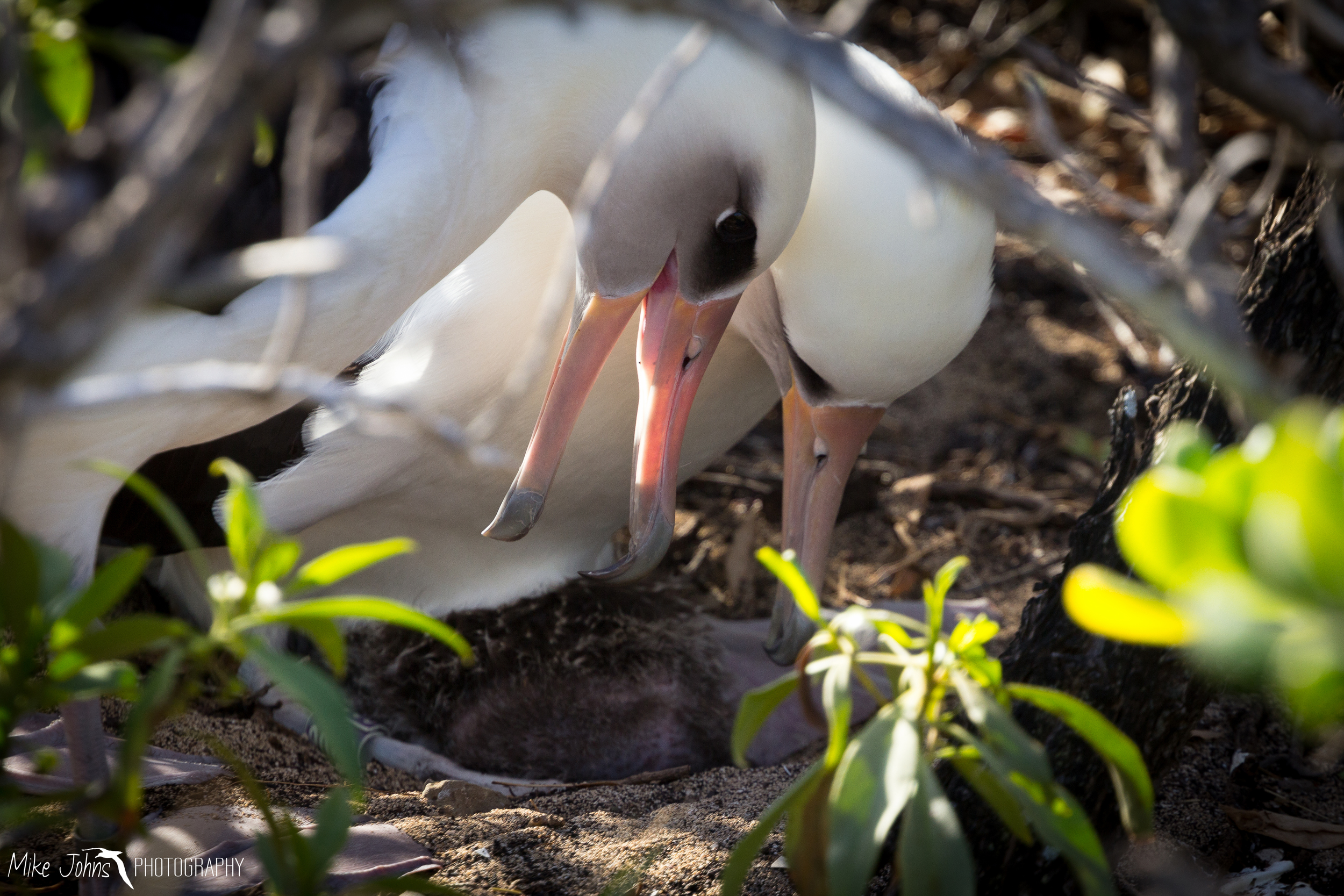 Laysan Albatross with Chick, Oahu Hawaii