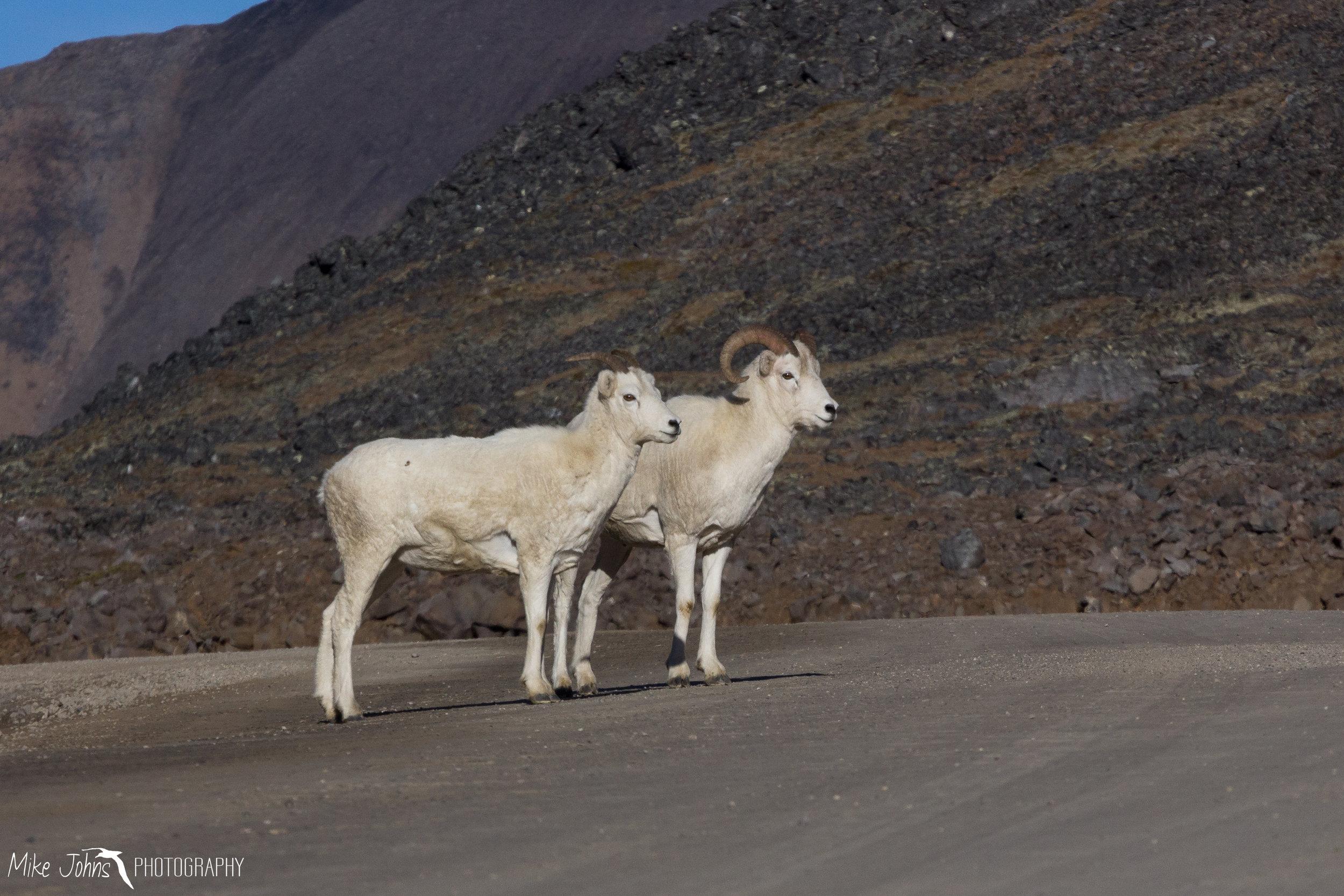 Dall Sheep, Atigun Pass AK