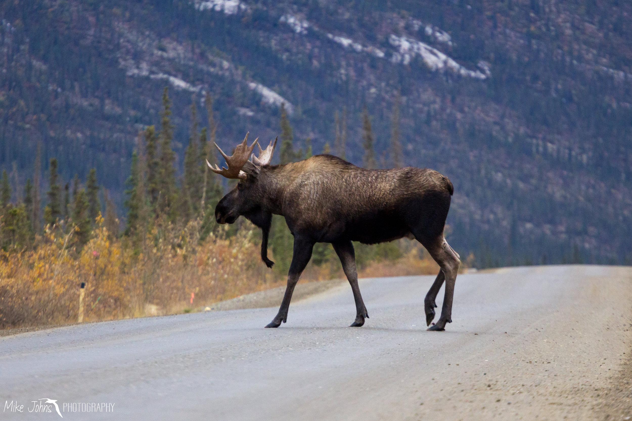 Moose, Brooks Range AK