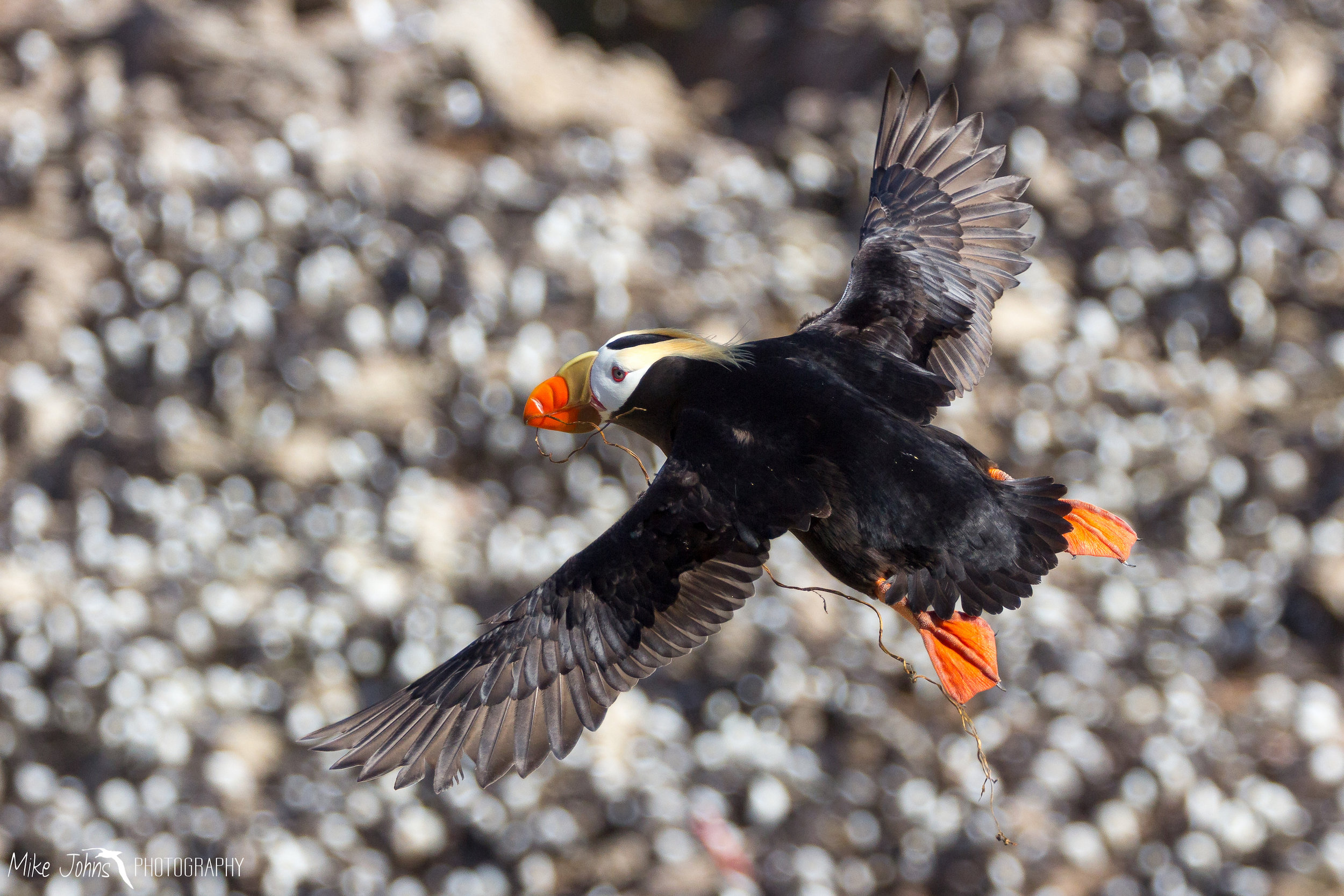 Tufted Puffin In Flight