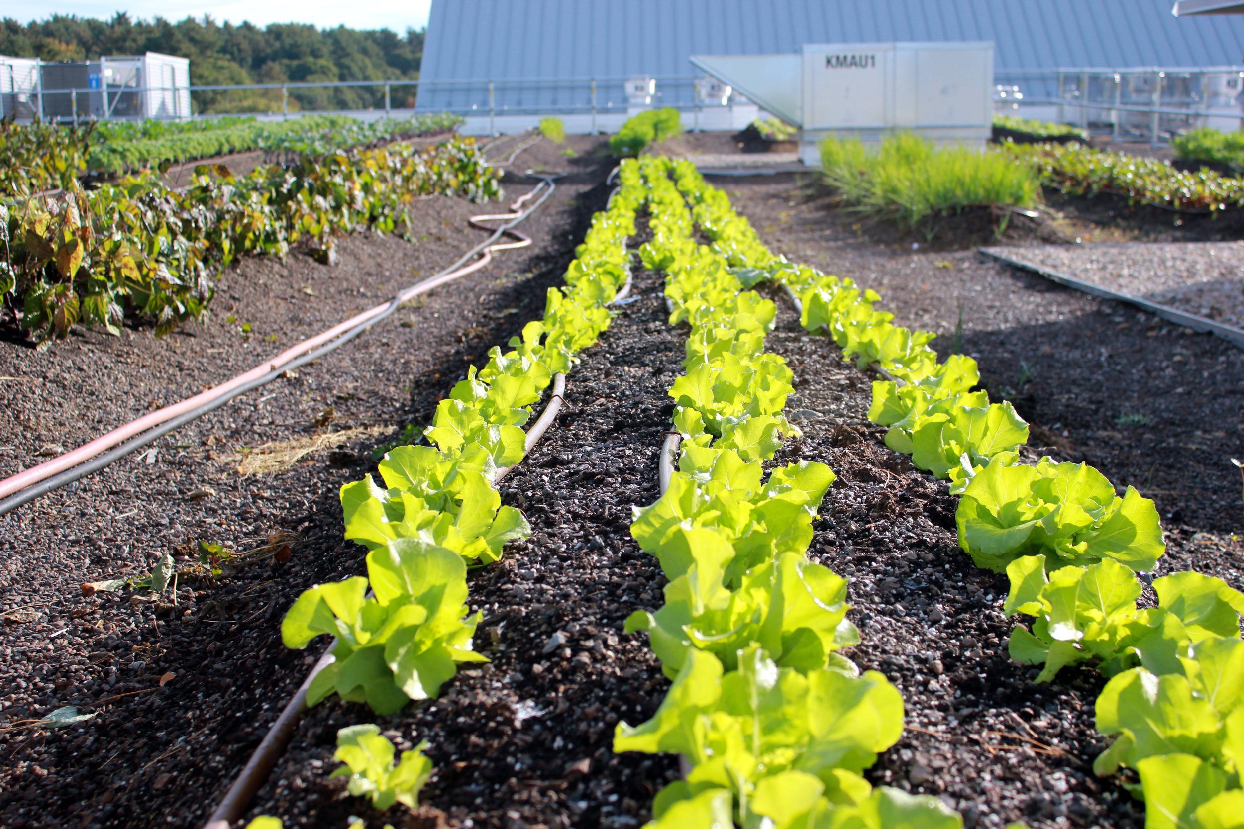 WF lettuces.JPG