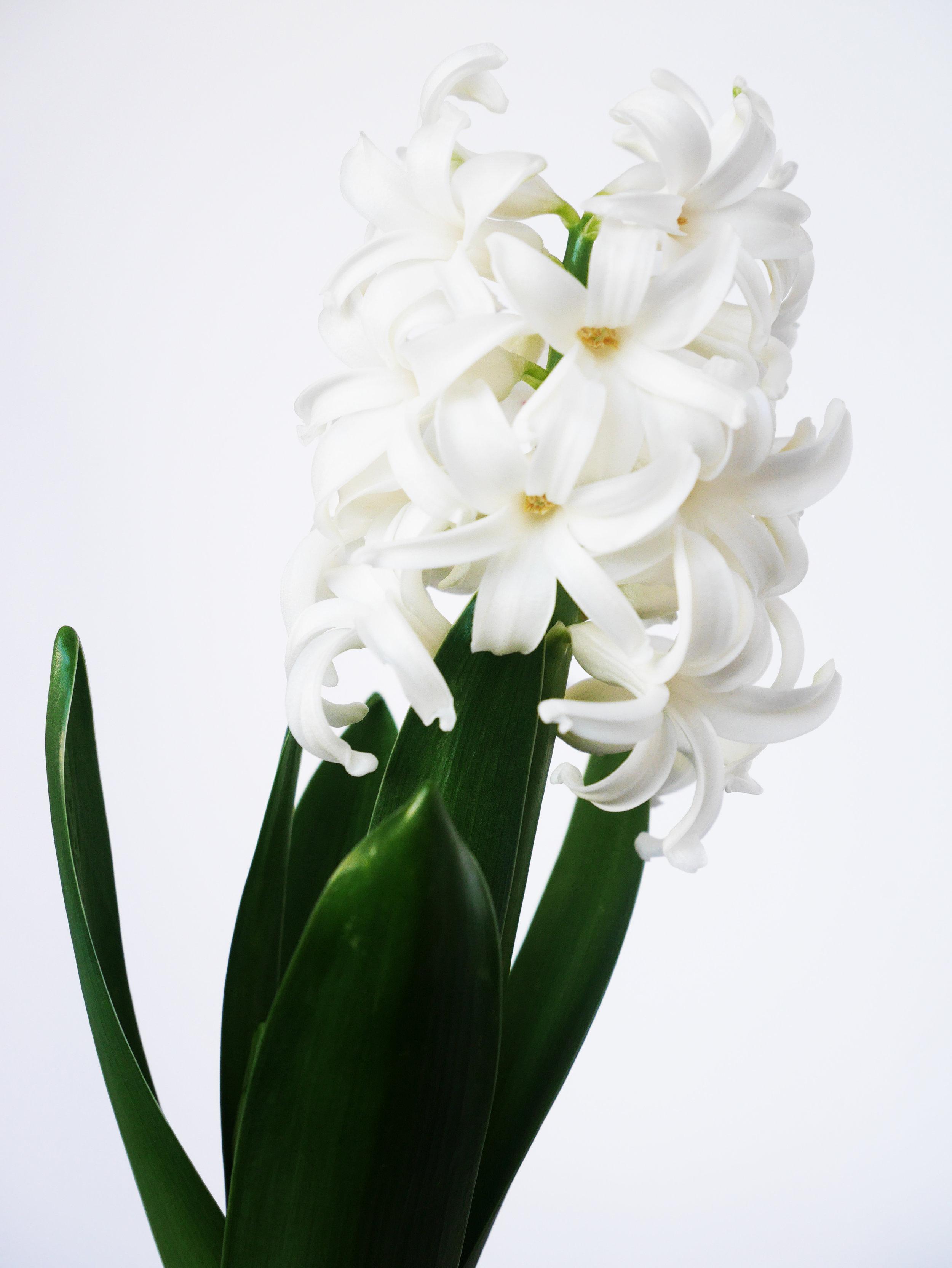 White Hyacinth 2.jpg