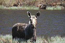Moose - Wayne Laroche,Vermont Fish and Wildlife Department