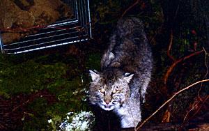 Bobcat - Barry Forbe
