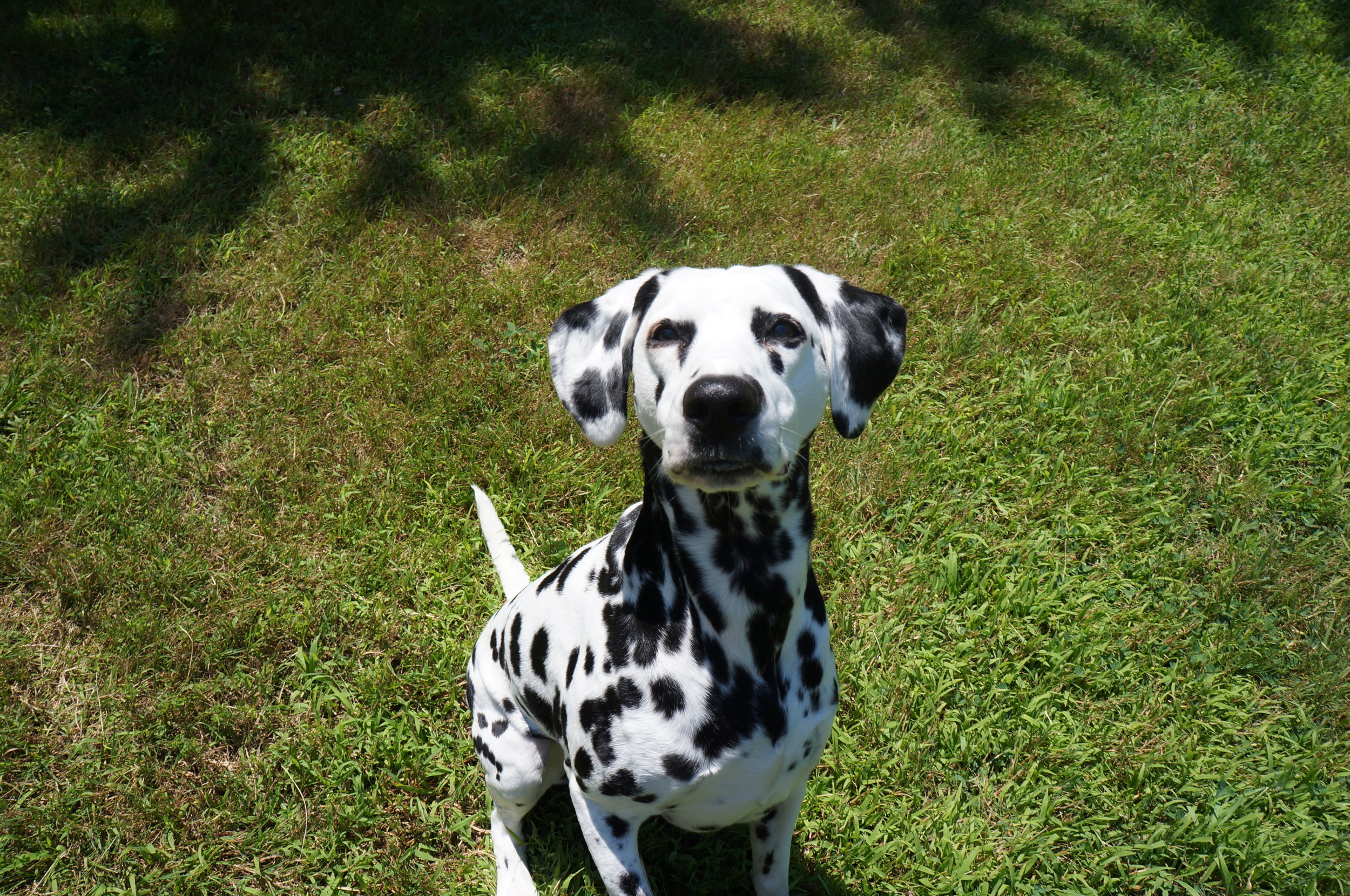 Judea, deaf dog, waits to be told that she can play.