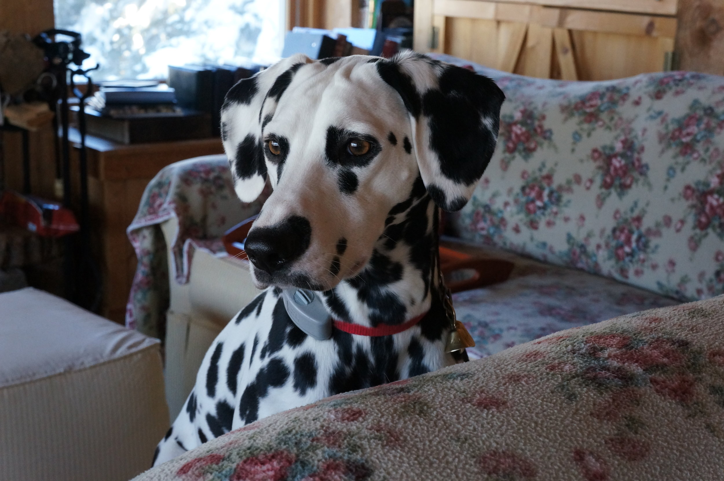 Our deaf dog, Judea, is a candidate for CBD as she ages and her joints begin to ache.