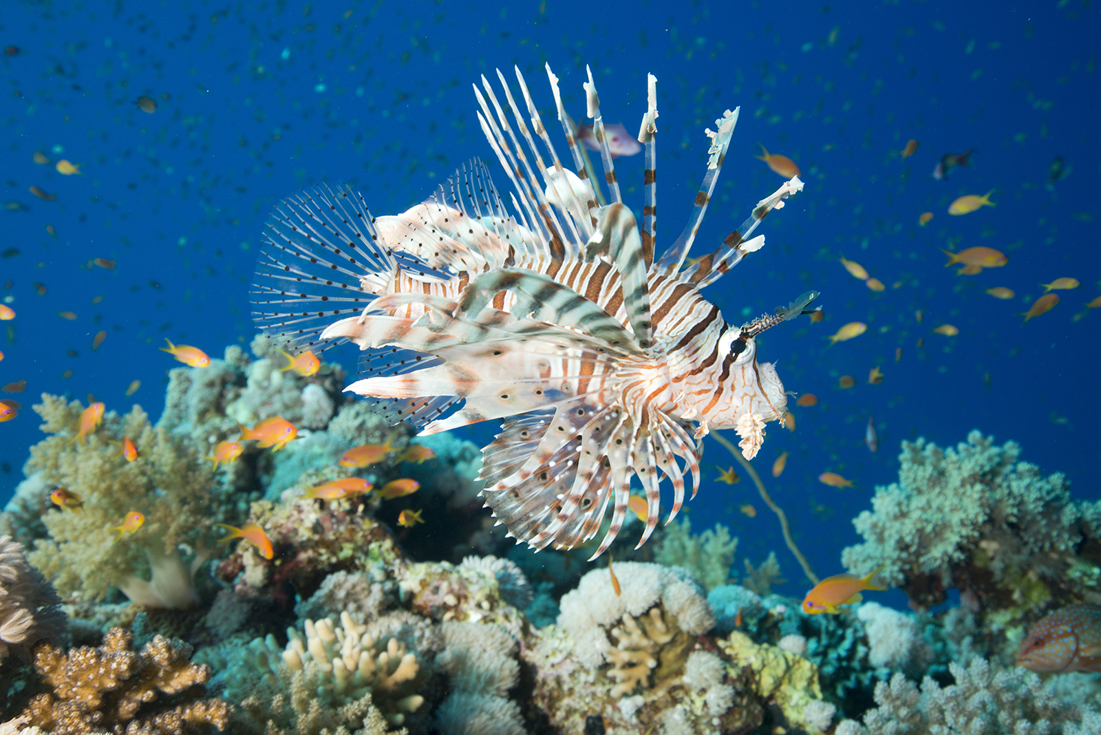 lionfish-red-sea-photography.jpg