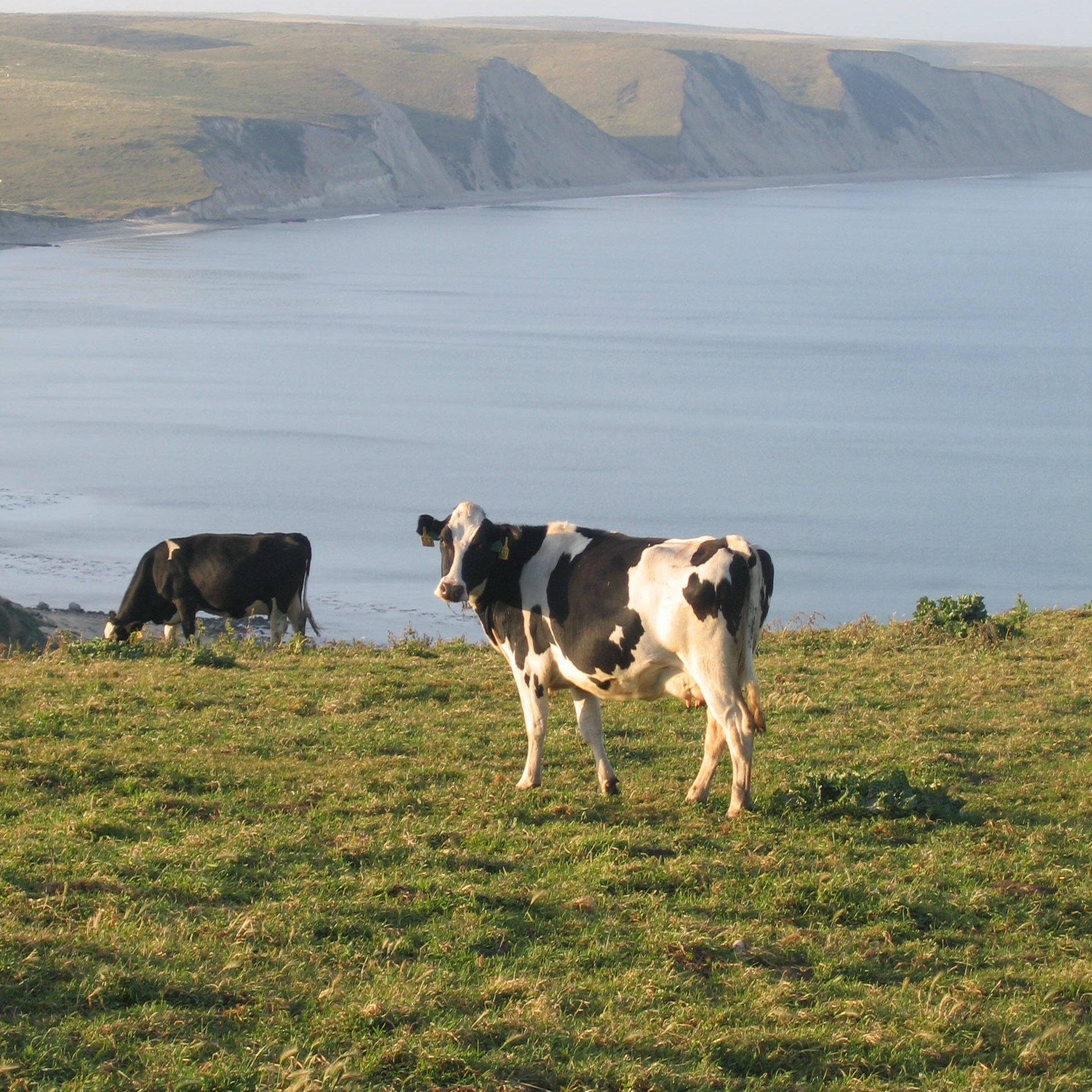 High Res Bay Cow (2).jpg