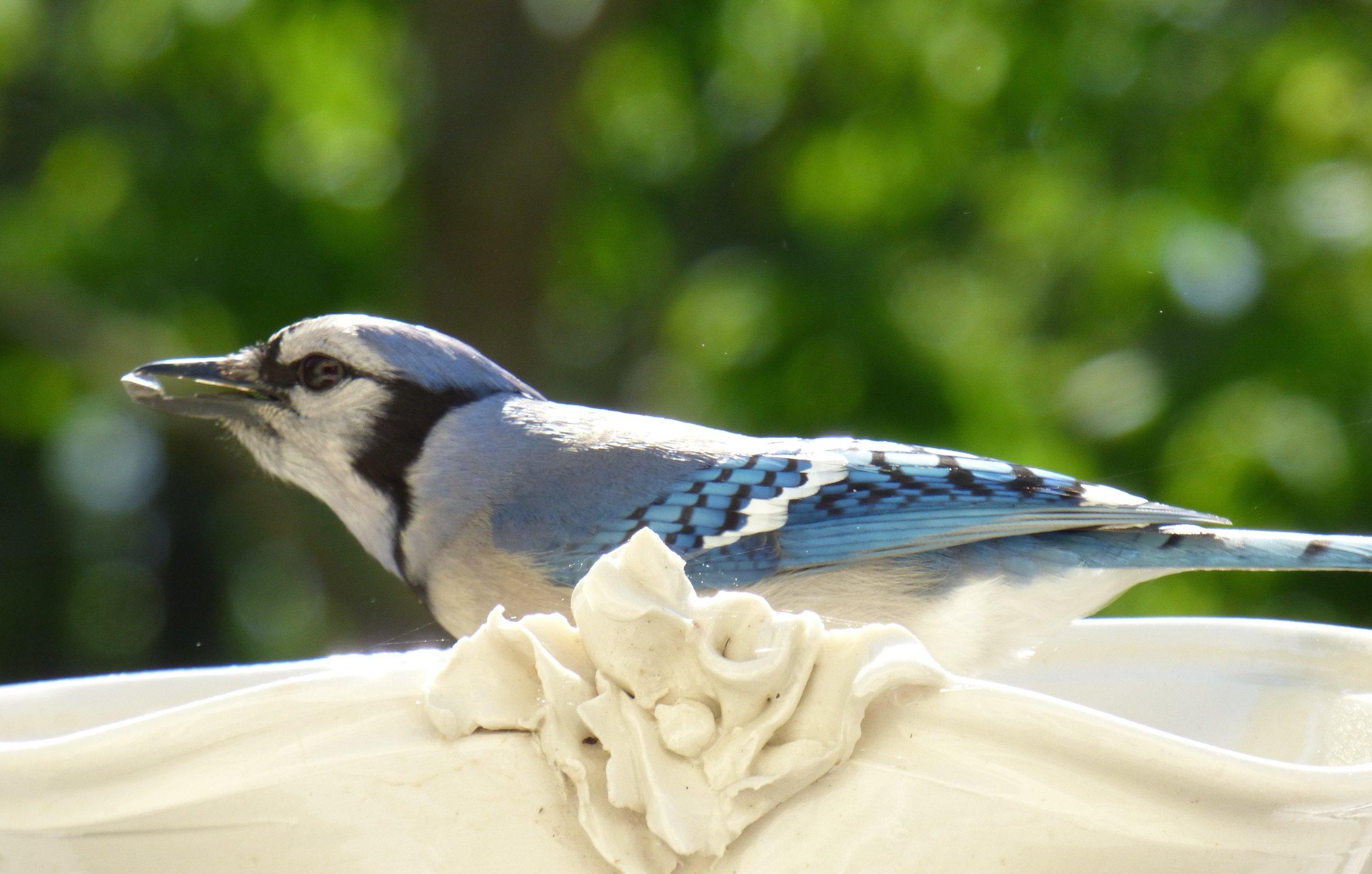 Blue jay feasting in one of my porcelain bird feeders