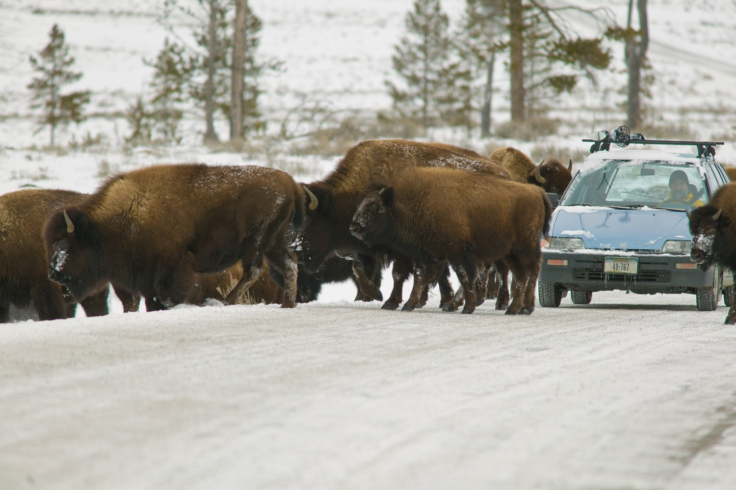 Bison on the road, Yellowstone National Park in winter.