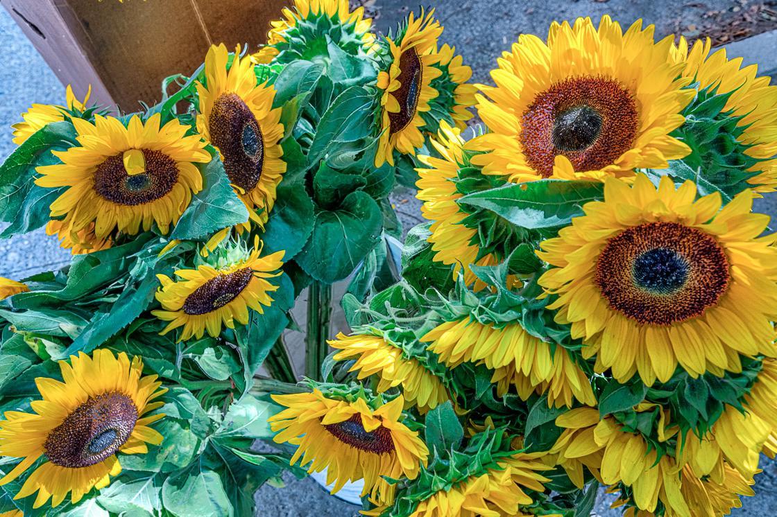 Classic Downtown market Sunflowers.jpg