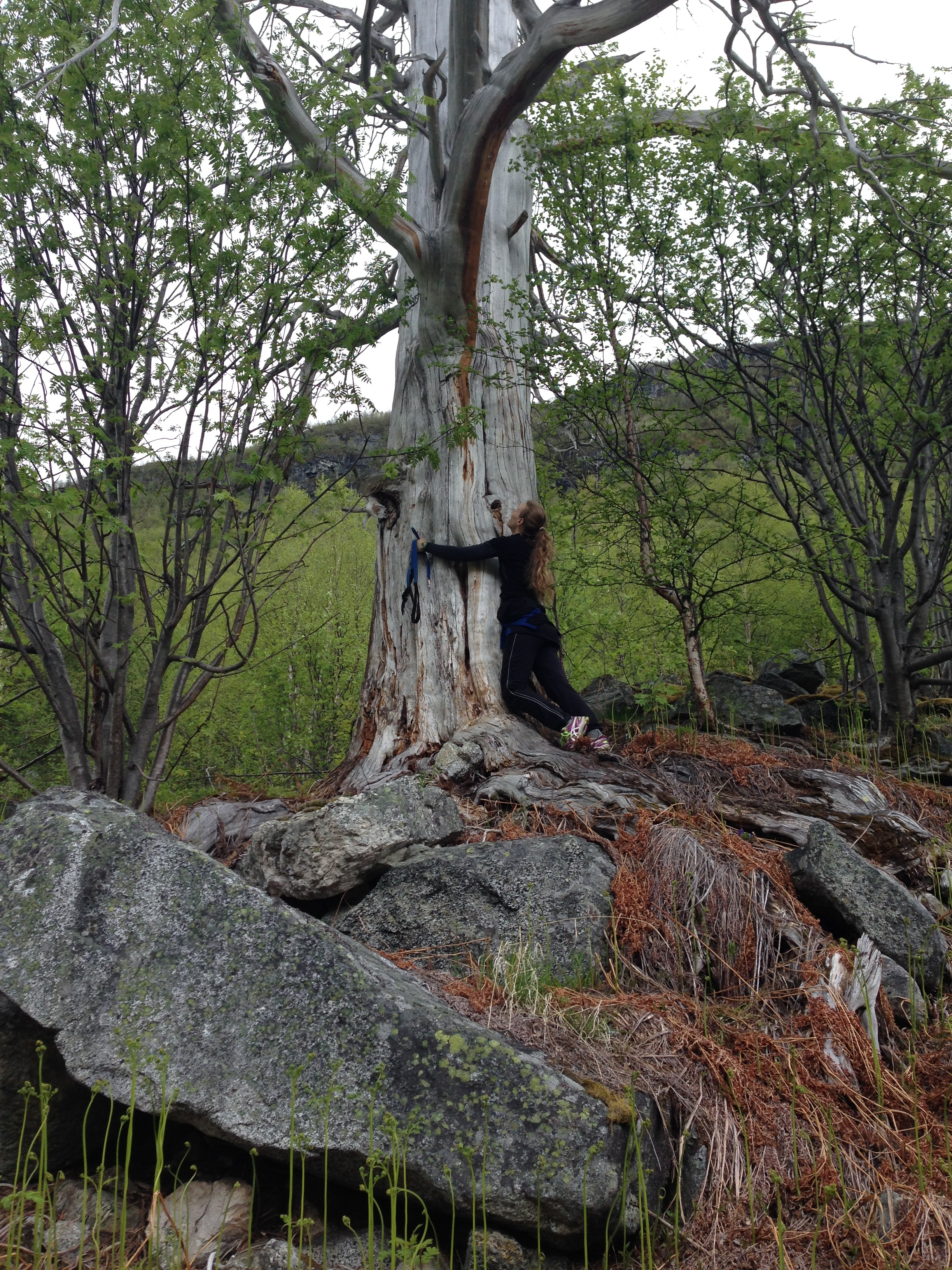 An old pine tree in the valley of Hjelledalen. Photo: Charlotte Trones