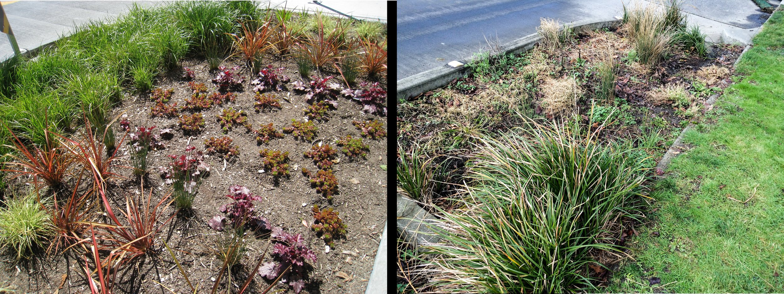 Rain gardens at the NE corner of 14th Ave NW and NW 58th in 2009 (left) and today (right)