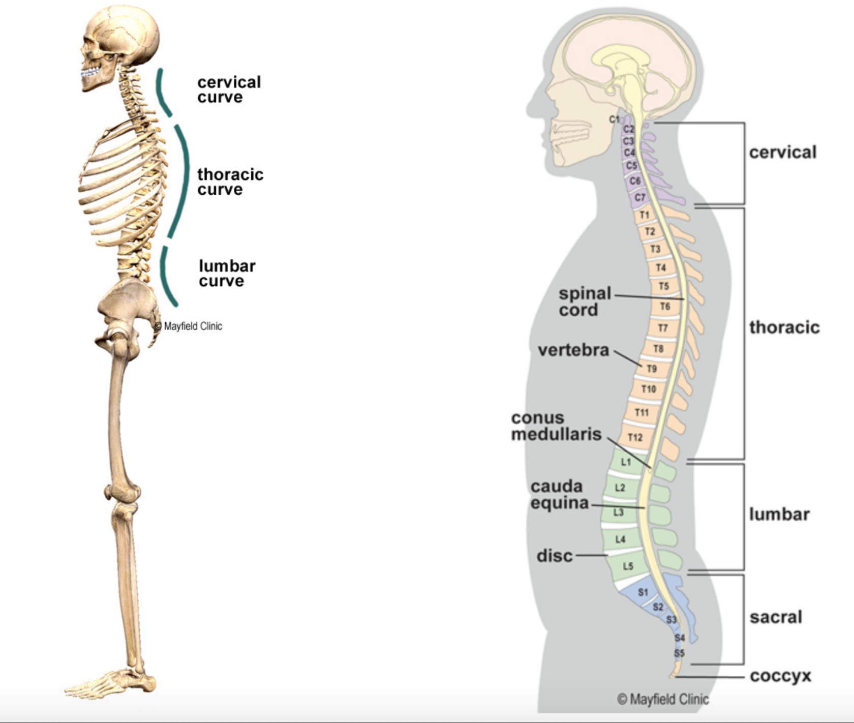The Pilates Collective - neutral spine.png