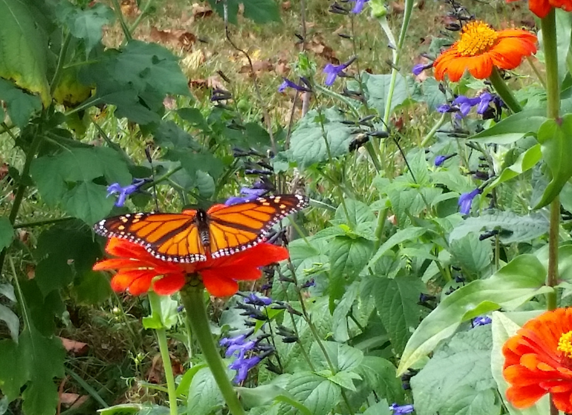 Monarch enjoying the zinnias and african blue sage.