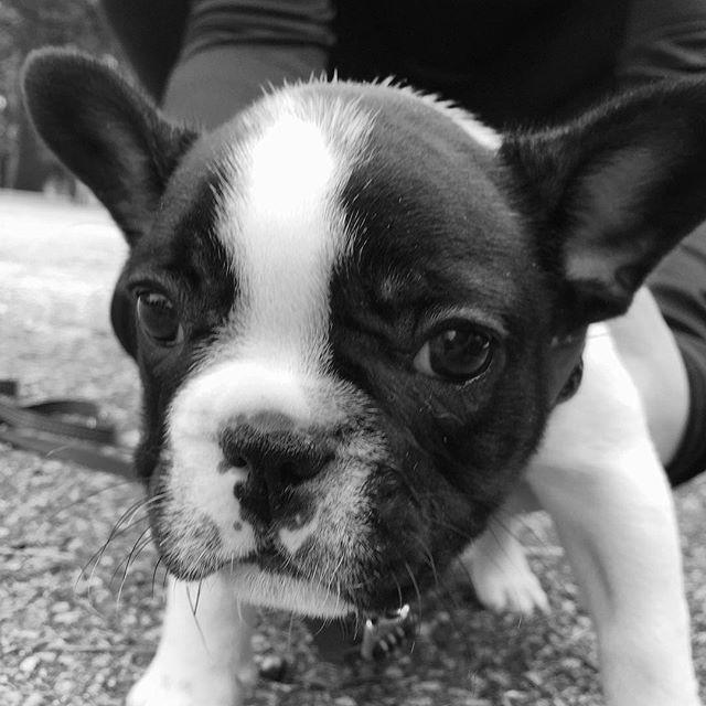 Throwback in black & white! 🐶 . . . #blackandwhitedog #puppyfrenchie #stella_and_friends #ilovepuppies #frenchie1 #blackandwhitepuppy #chicagofrenchies #dogsofchicago