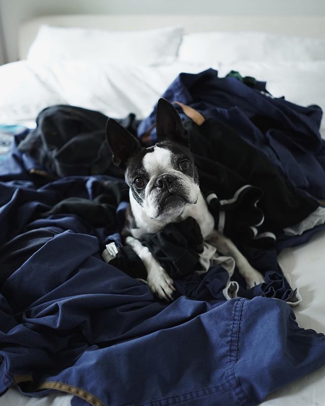 Who else's pup is obsessed with laundry fresh from the dryer? #BostonTerrierMoments 📷: #sonya9 28mm f/2 #sel28f20