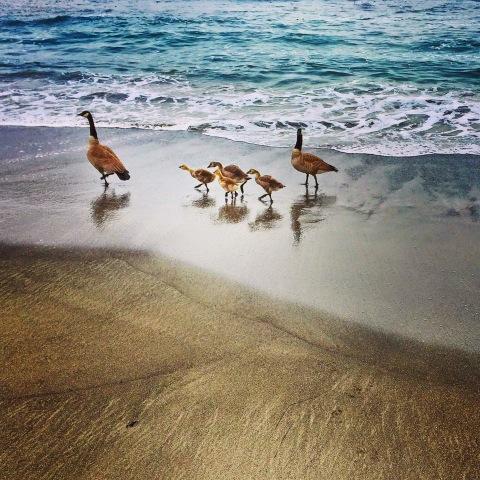 sharon garner elk beach baby Canada geese.jpeg