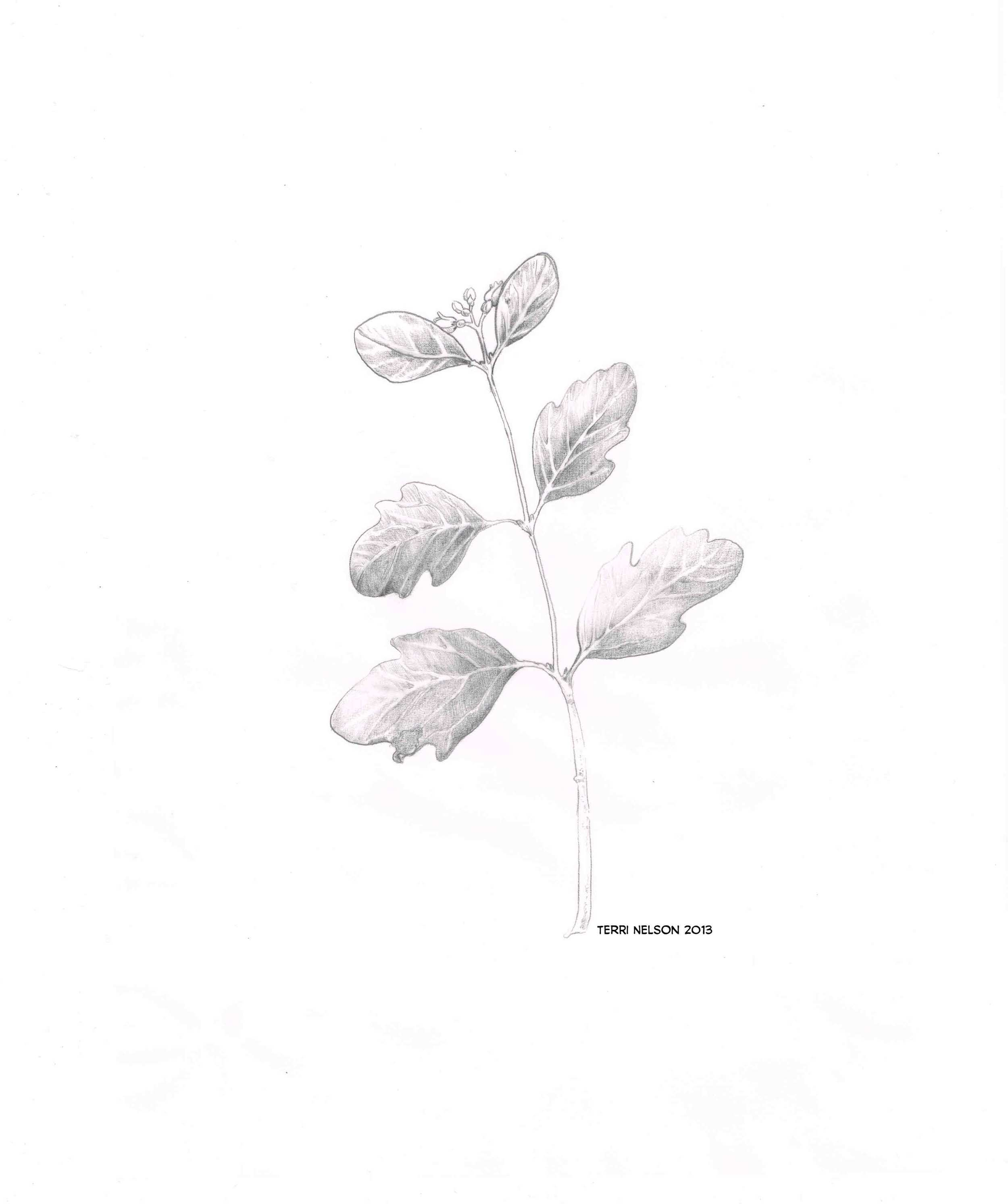 snowberry.jpg