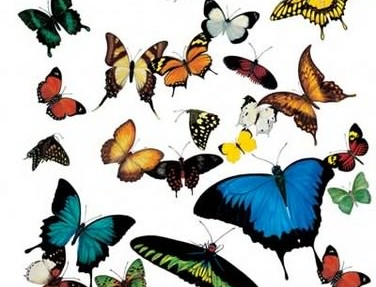 butterflies,butterfly,cluster,colors,nature,butterfies-29cc582546d2e6059b2289186dcb1fc1_h.jpg