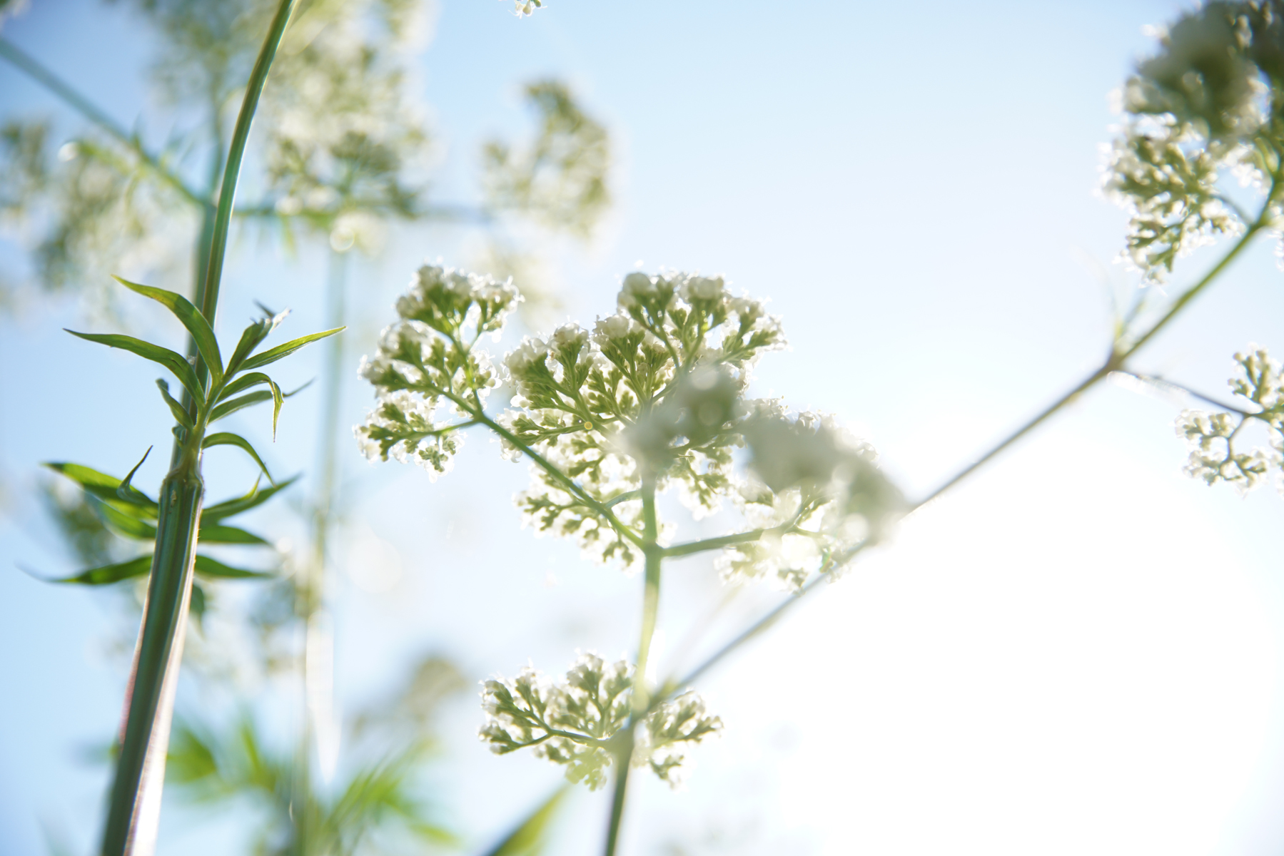 heartsong herbs_milky oats-2018051109977.jpg