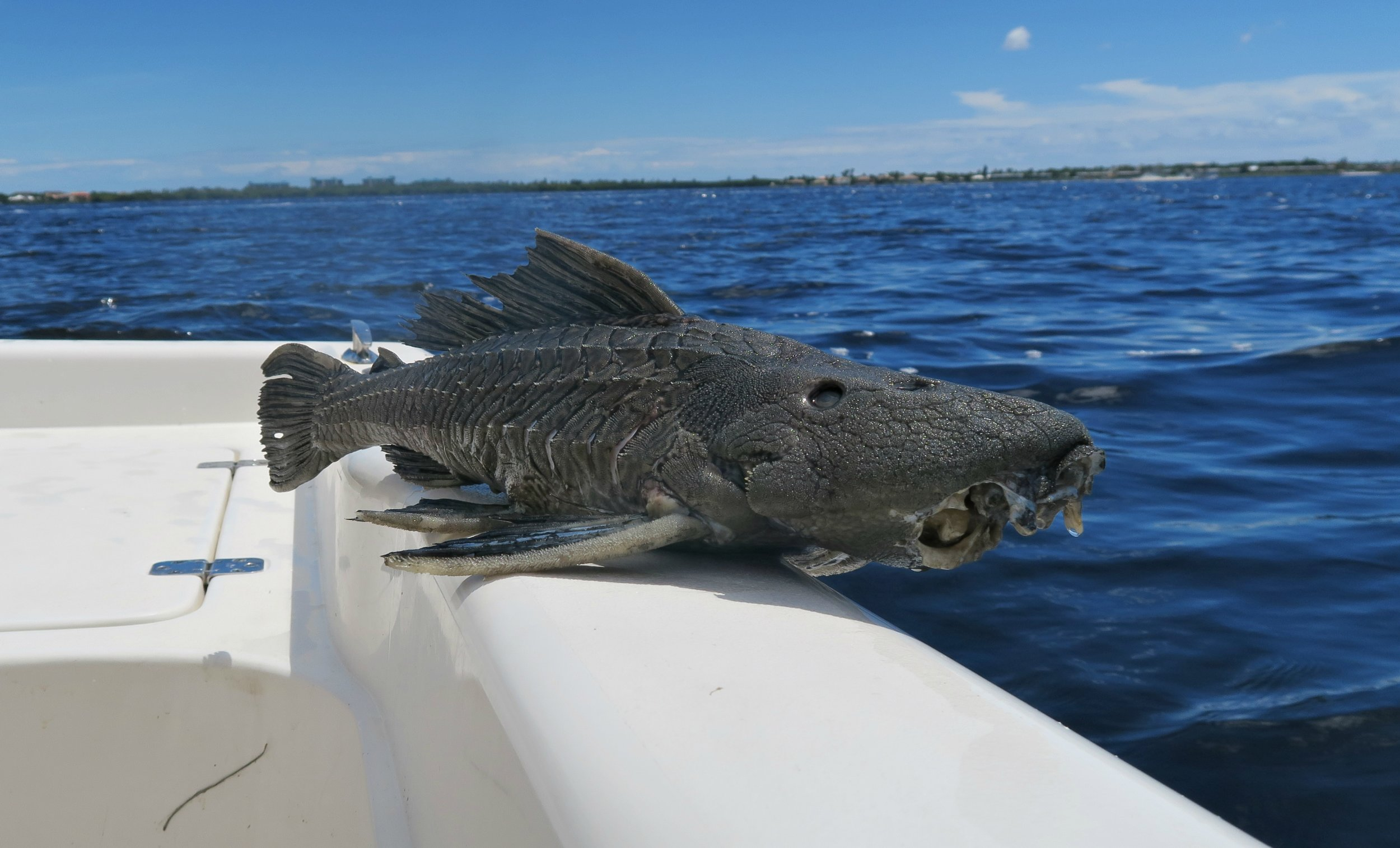 a dead plecostomus in the caloosahatchee RIVER