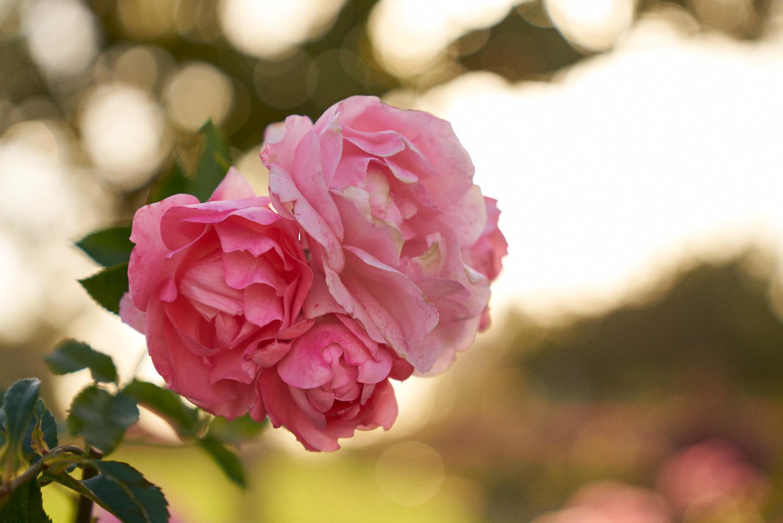 AMVISUALS-2019-Balboa-Park-Rose Garden-4.jpg