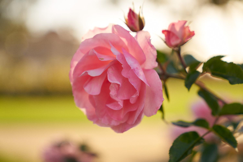 AMVISUALS-2019-Balboa-Park-Rose Garden-5.jpg