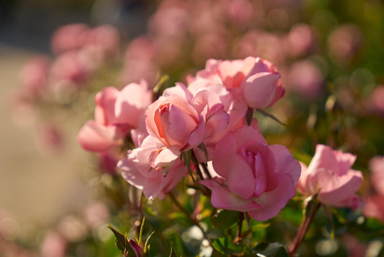 AMVISUALS-2019-Balboa-Park-Rose Garden-6.jpg