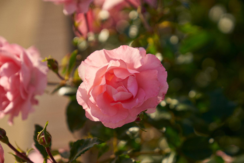 AMVISUALS-2019-Balboa-Park-Rose Garden-7.jpg
