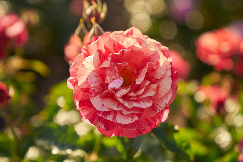 AMVISUALS-2019-Balboa-Park-Rose Garden-8.jpg