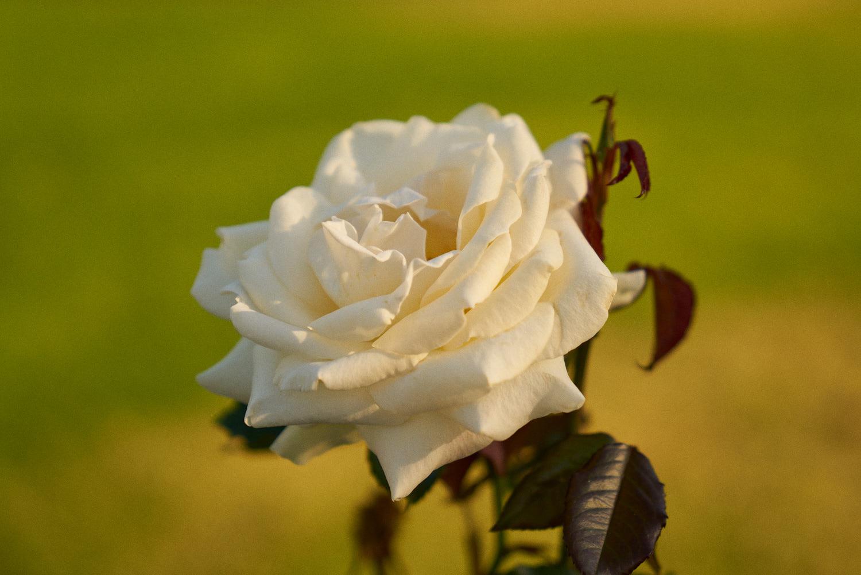 AMVISUALS-2019-Balboa-Park-Rose Garden-9.jpg