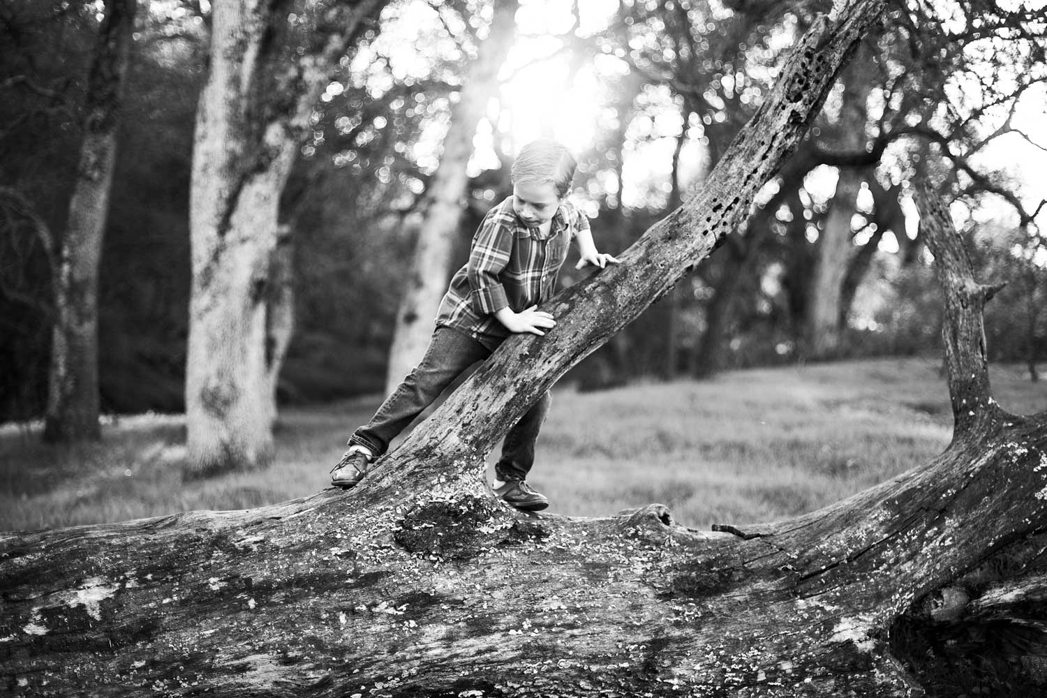 A young boy explores and climbs on a tree at a park in Roseville, California.