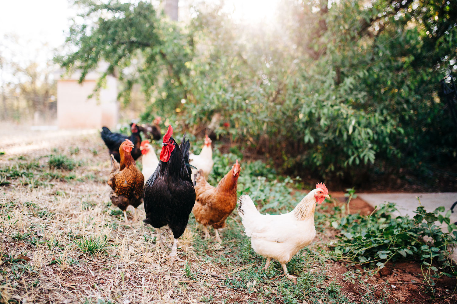 Some chickens run around in a backyard during an in-home lifestyle photo session with Amy Wright Photography in Sacramento, California.
