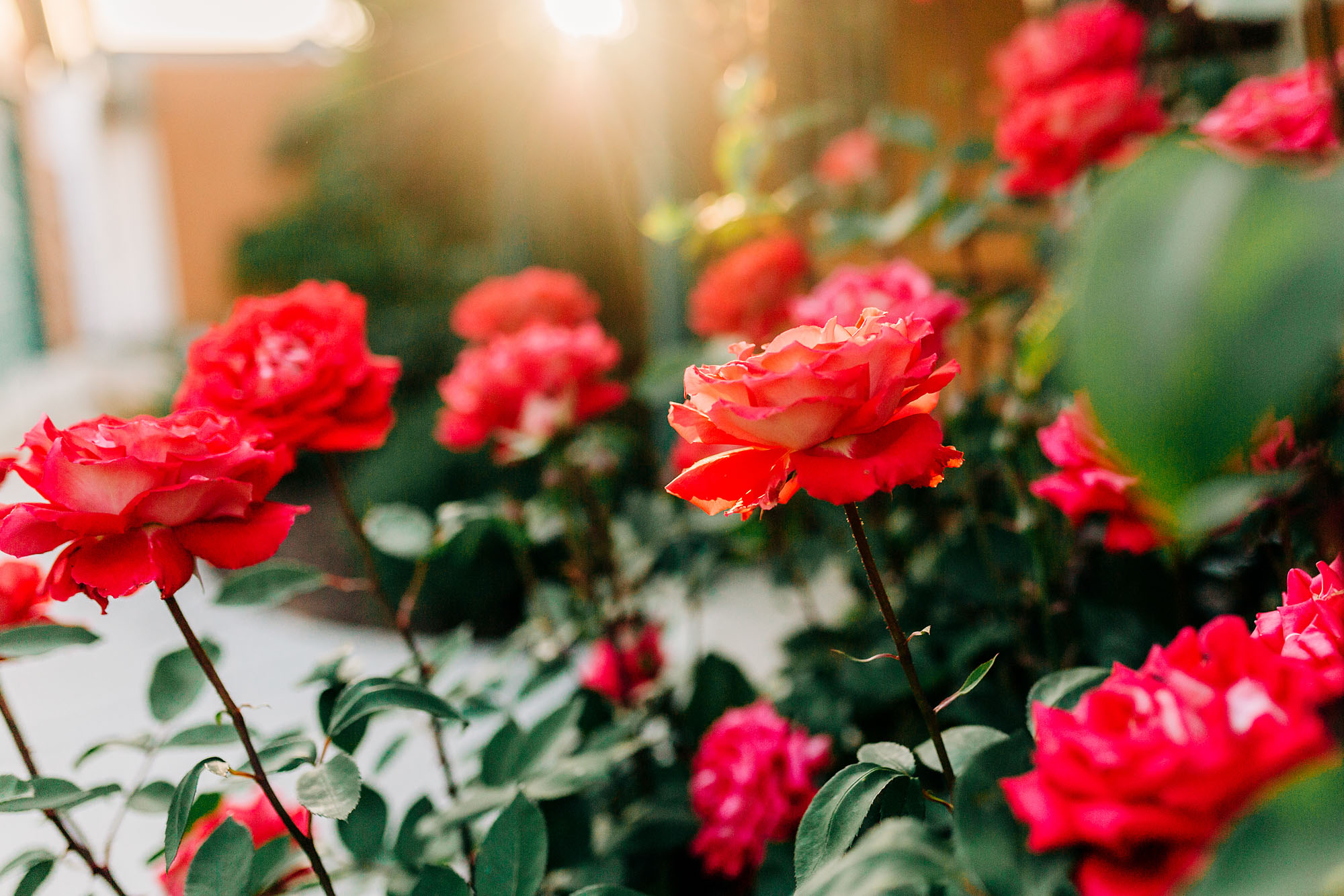 Backyard details are captured of roses during an in-home family photo session with Amy Wright Photography.