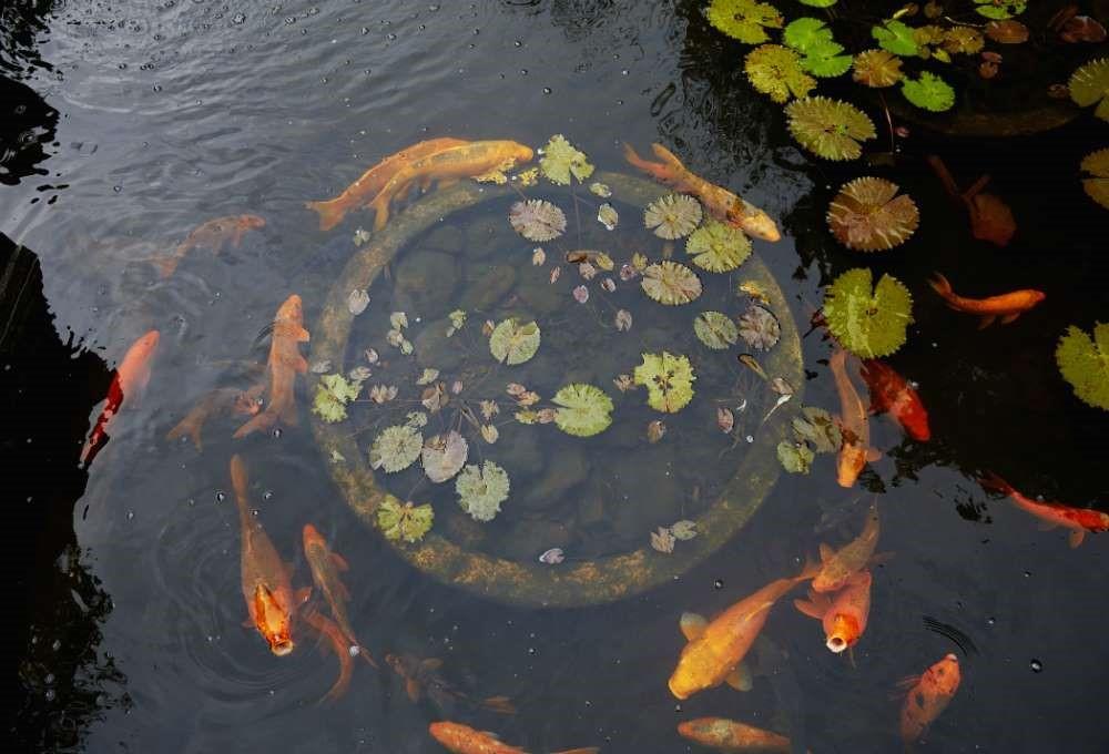 bassin poisson rouge.jpg