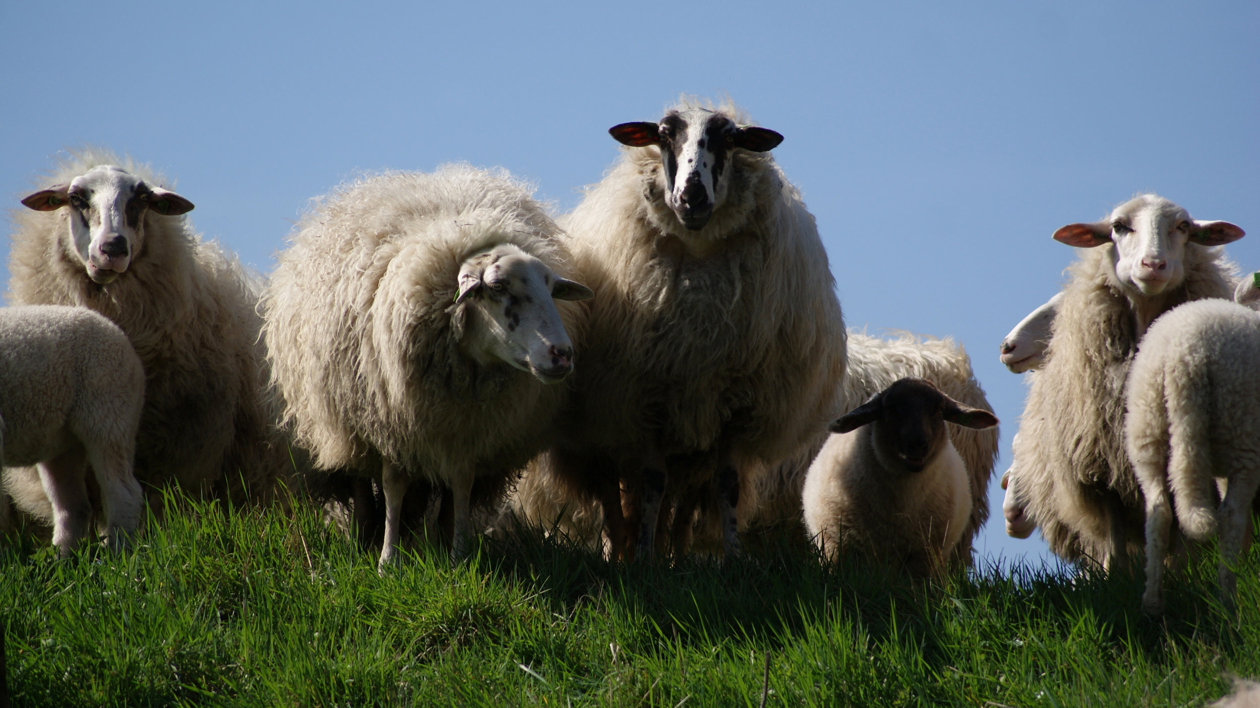 meadow-animals-sheep-wool.jpg