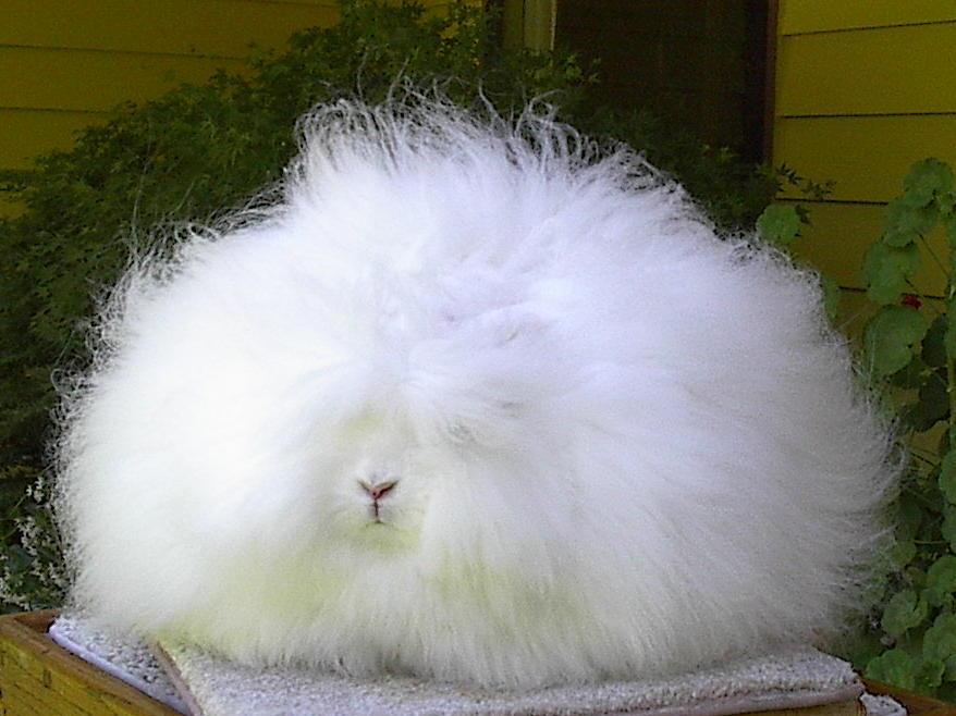 angora_rabbit.jpg