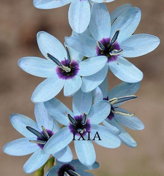 Ixia-viridiflora.jpg