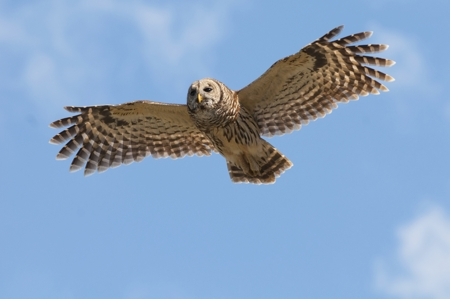 450-178382819-barred-owl-in-flight.jpg