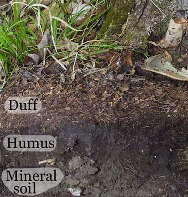 """Duff"" is leaf litter covering soil."