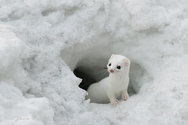 Ermine, ( Mustela erminea ), also called stoat, short-tailed weasel, or Bonaparte weasel, are widely distributed across North America and Eurasia. The species is called ermine during its winter white phase. Ermine pelts were used historically in royal robes in Europe.  Learn more .