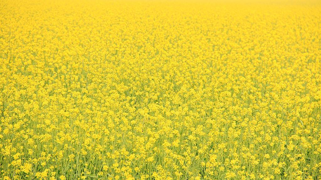1024px-Mustard_Fields.jpg