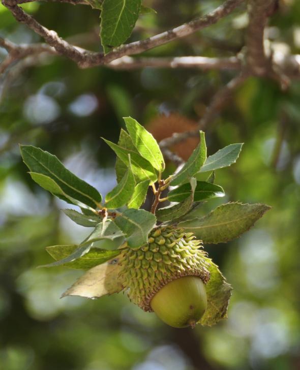oak-calliprinos.jpg