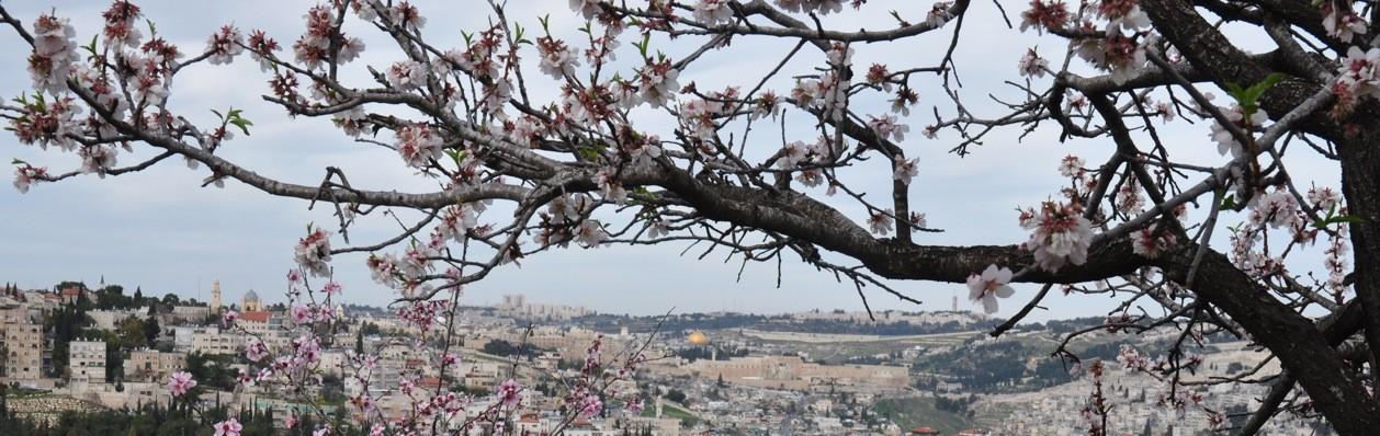 Almond blossoms, Jerusalem.